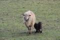 V košickej zoo sa narodili mláďatá oviec kamerunských