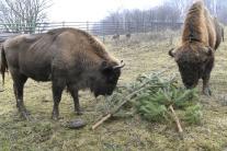 Mohutné zubry pri Lovciach môžu turisti obdivovať najmä pri kŕmení