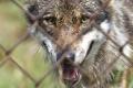 Bratislavská ZOO má novú atrakciu, je ňou chovné zariadenie pre vlky