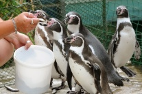 Kŕdeľ tučniakov v košickej ZOO sa rozrástol o dve