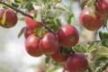 Ovocie zo Sedlísk putuje do škôl, vlastných obchodov
