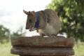 Potkana cvičeného na hľadanie mín ocenili zlatou medailou