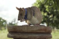 Potkan s medailou za odvahu