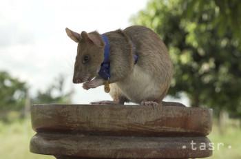 Na nedatovanej snímke Britského združenia pre dobré životné podmienky zvierat (PDSA) africký potkan menom Magawa, špeciálne vycvičený na hľadanie nášľapných mín, je nafotený v kambodžskom Sieme.