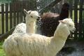 V zoo v Spišskej Novej Vsi pribudli malá lama aj kamerunské kozičky