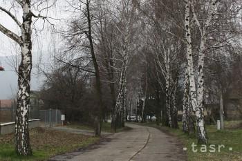 Postupné otepľovanie rozbehlo peľovú sezónu brezy